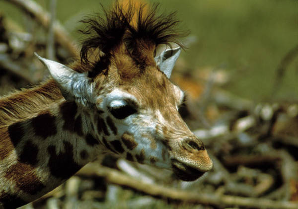 Wall Art - Photograph - Giraffe Calf by Peter Scoones/science Photo Library