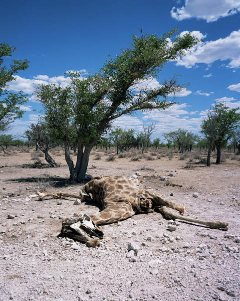 Wall Art - Photograph - Giraffe Carcass by Sinclair Stammers/science Photo Library