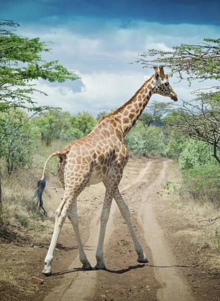 Wall Art - Photograph - Giraffe Crossing Road In Masai Mara by Mehmed Zelkovic