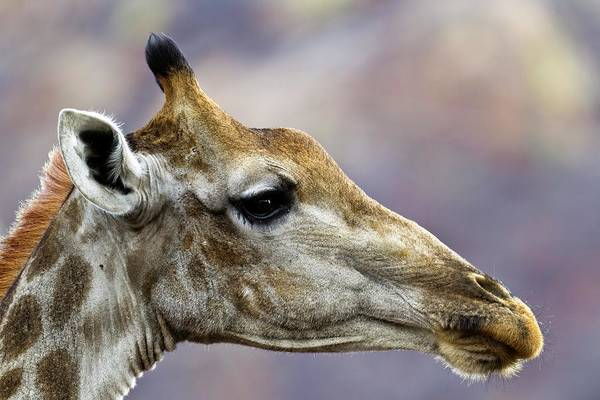 Wall Art - Photograph - Giraffe by Dr Andre Van Rooyen/science Photo Library