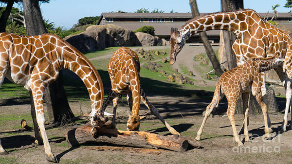 Photograph - Giraffe Dsc2873 Long by Wingsdomain Art and Photography