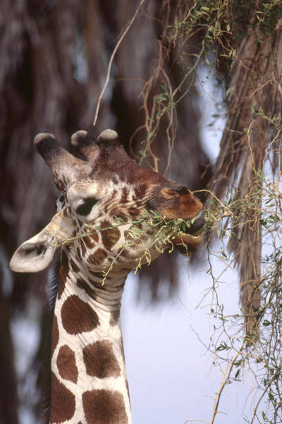 Wall Art - Photograph - Giraffe Eating Leaves by Charles Angelo