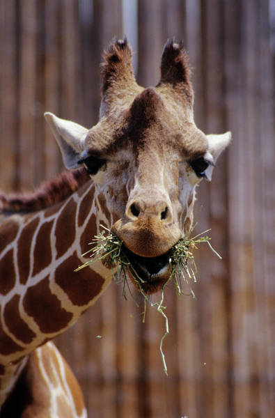 Wall Art - Photograph - Giraffe Eating by Sally Mccrae Kuyper/science Photo Library