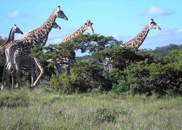 Photograph - Giraffe Family Group by Karen Jane Jones