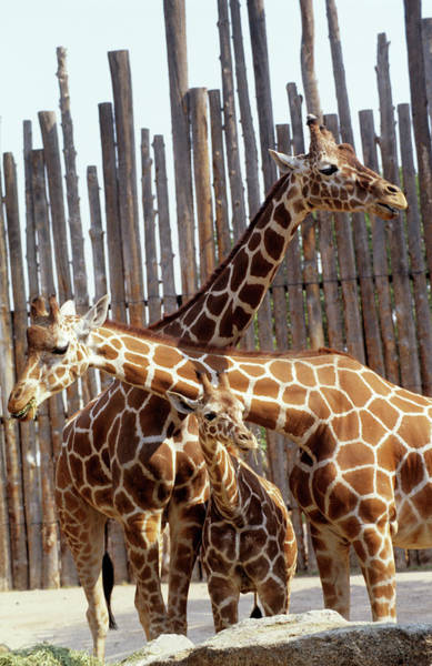 Wall Art - Photograph - Giraffe Family by Sally Mccrae Kuyper/science Photo Library