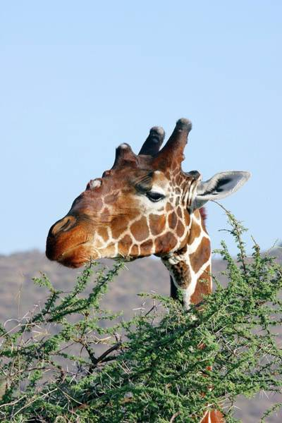 Thicket Photograph - Giraffe Feeding On Acacia Leaves by John Devries/science Photo Library