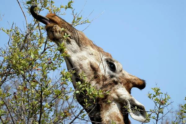 Wall Art - Photograph - Giraffe Feeding by Peter Chadwick/science Photo Library
