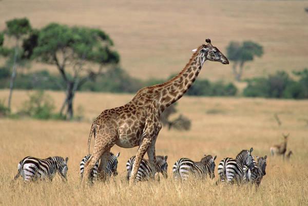 Giraffe Photograph - Giraffe Giraffa Camelopardalis by Ferrero Labat