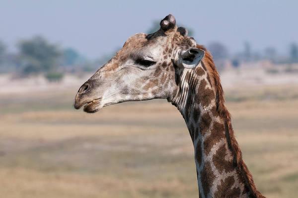 Chobe National Park Wall Art - Photograph - Giraffe (giraffa Camelopardalis by Sergio Pitamitz