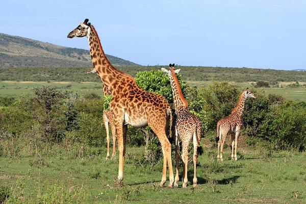 Photograph - Giraffe Group On The Masai Mara by Aidan Moran