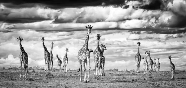 Porter Photograph - Giraffe Herd by Stu Porter