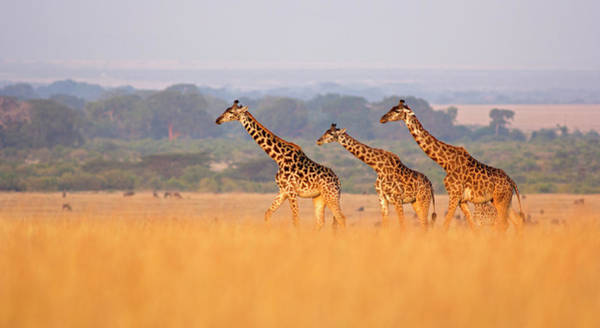 Savannah Photograph - Giraffe In Savannah by Wldavies