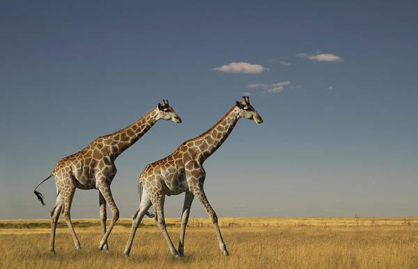 Savannah Photograph - Giraffe In The Savannah. Etosha Park by Buena Vista Images