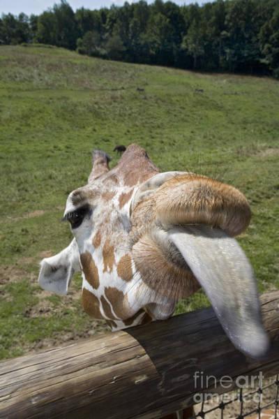 Photograph - Giraffe by Jim West