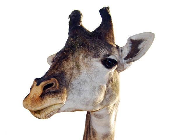Photograph - Giraffe by Larah McElroy