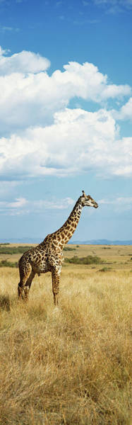 Wall Art - Photograph - Giraffe Maasai Mara Kenya by Animal Images