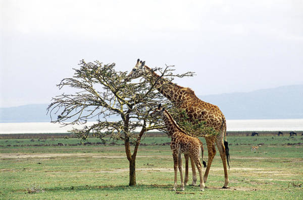 Wall Art - Photograph - Giraffe Mother And Young Browsing by Charles Angelo