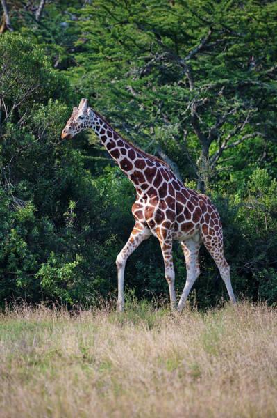 Mount Kenya Photograph - Giraffe, Mount Kenya National Park by Keren Su