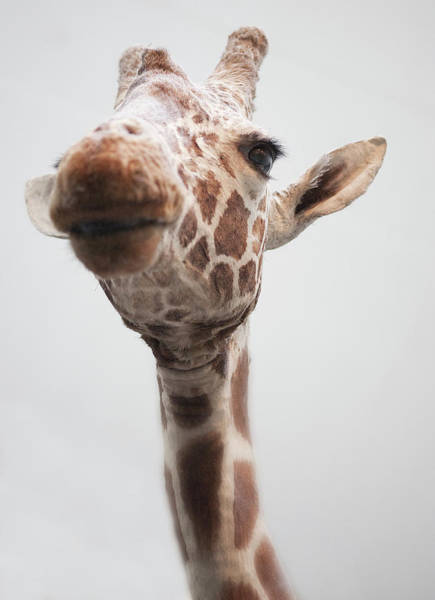 Stuffed Animal Photograph - Giraffe by Natural History Museum, London/science Photo Library