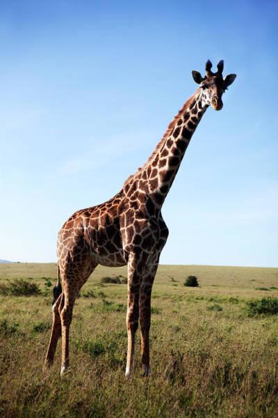 Savannah Photograph - Giraffe On Savannah by Johner Images
