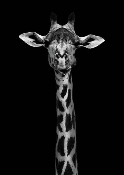 Tall Photograph - Giraffe Portrait by Wildphotoart
