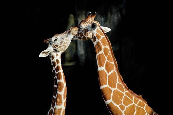 Giraffe Photograph - Giraffe by Sen Lin Photography
