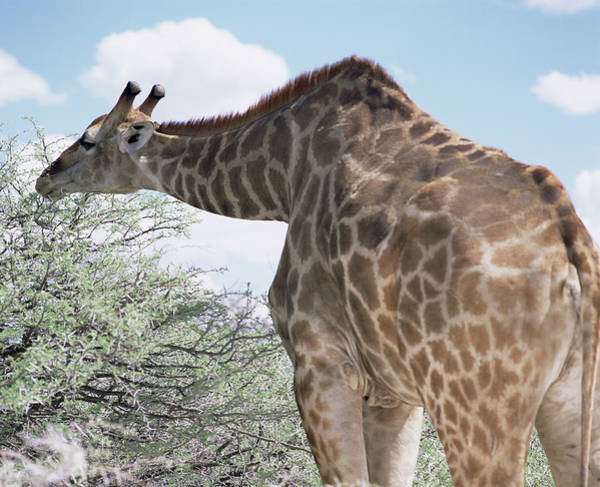 Wall Art - Photograph - Giraffe by Sinclair Stammers/science Photo Library