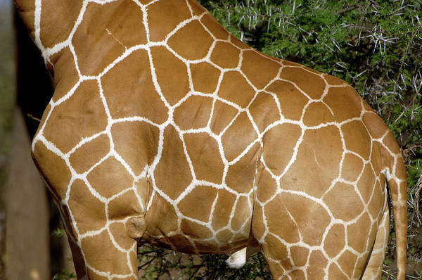 Wall Art - Photograph - Giraffe Skin by Dr P. Marazzi/science Photo Library