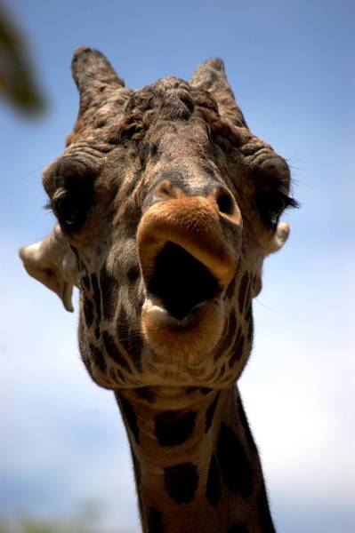 Wall Art - Photograph - Giraffe Smirkling by Meeli Sonn