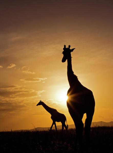 Photograph - Giraffe Sunset by Wldavies