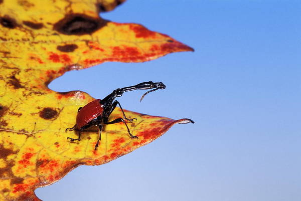 Wall Art - Photograph - Giraffe Weevil by Pascal Goetgheluck/science Photo Library