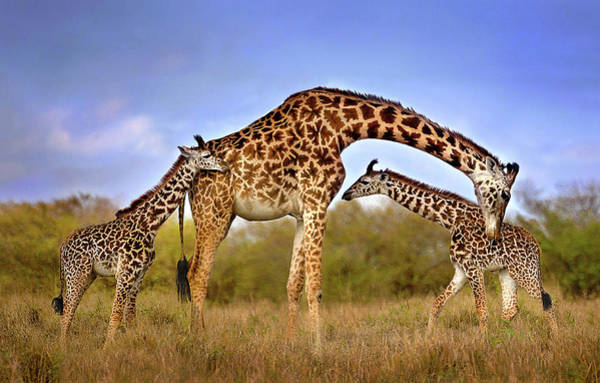 Wall Art - Photograph - Giraffe With Cubs by Xavier Ortega