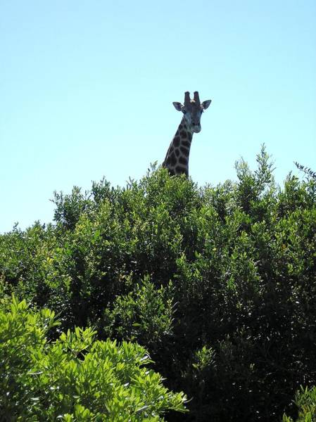 Photograph - Giraffe With Nowhere To Hide by Karen Jane Jones