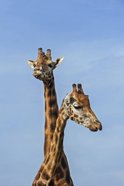 Photograph - Giraffes 1 by Arterra Picture Library