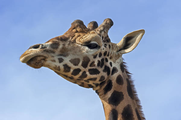 Photograph - Giraffes 3 by Arterra Picture Library