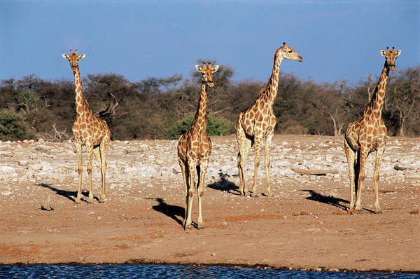 Wall Art - Photograph - Giraffes At A Watering Hole by Sinclair Stammers/science Photo Library