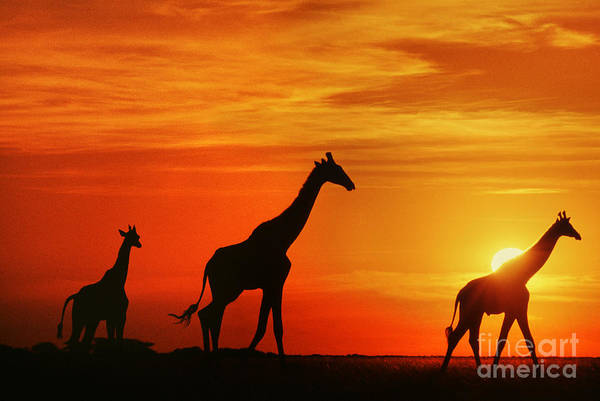 Photograph - Giraffes At Sunset Chobe Botswana by Frans Lanting MINT Images