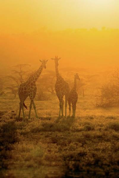 Wall Art - Photograph - Giraffes At Sunset by John Devries/science Photo Library