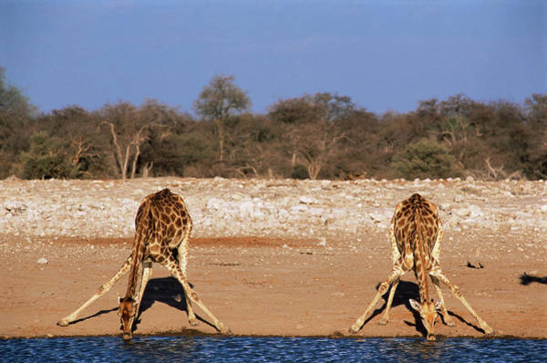 Wall Art - Photograph - Giraffes Drinking by Sinclair Stammers/science Photo Library