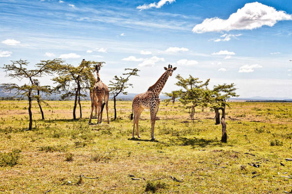 Photograph - Giraffes In The African Savanna by Perla Copernik