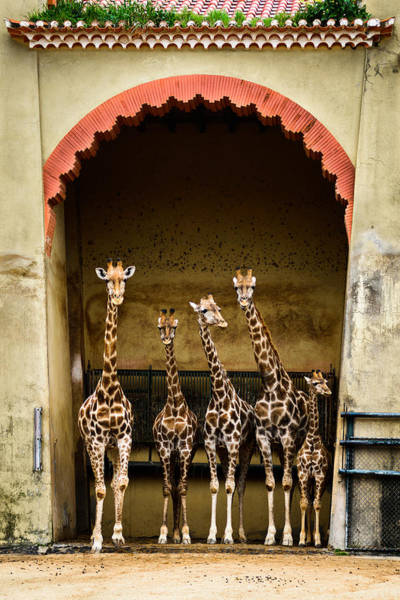 Colorful Giraffe Photograph - Giraffes Lineup by Marco Oliveira