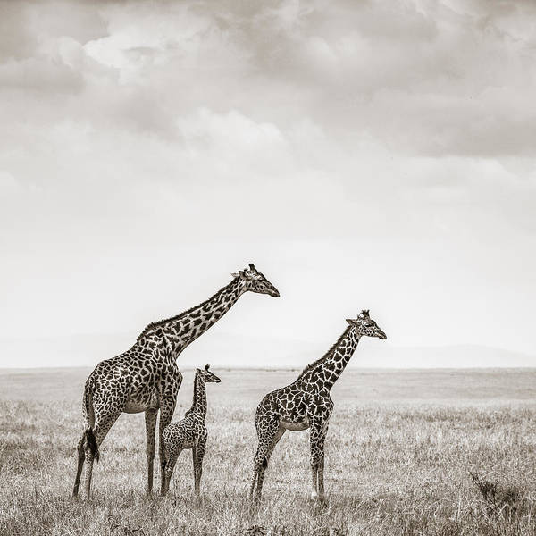 Mother Photograph - Giraffes Masai Mara Kenya by Regina Mueller