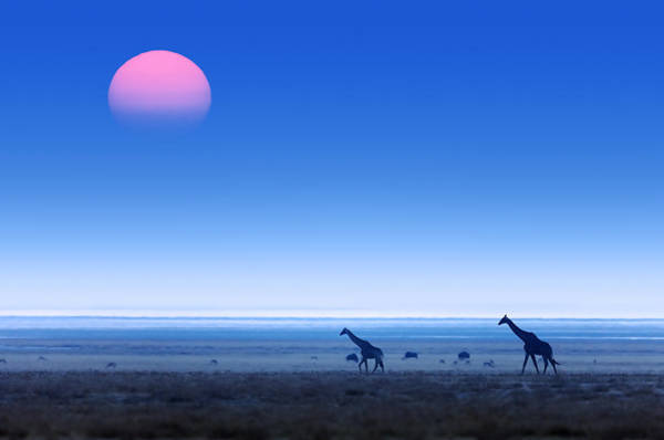 Wall Art - Photograph - Giraffes On Salt Pans Of Etosha by Johan Swanepoel