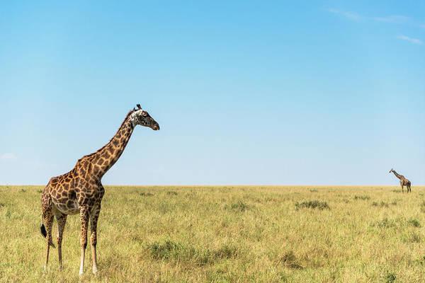 Savannah Photograph - Giraffes On Savannah Grassland by Mike Hill