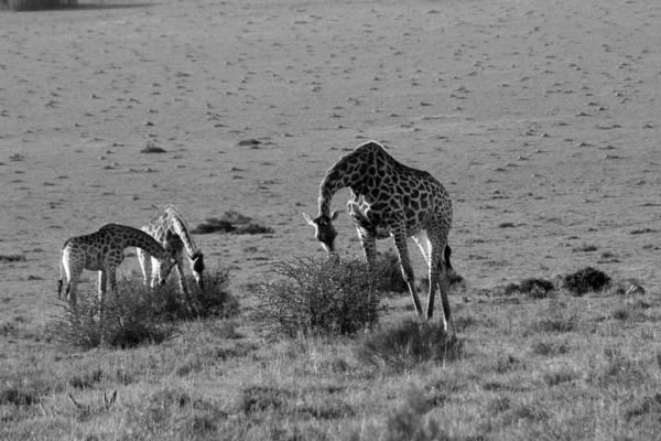 Wall Art - Photograph - Giraffes On The Savannah by Chris Whittle