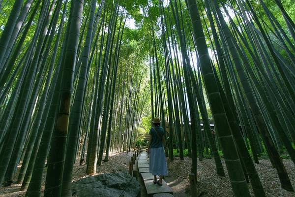 Casual Photograph - Girl Walking In The Tall Bamboo Forest by Hazelog