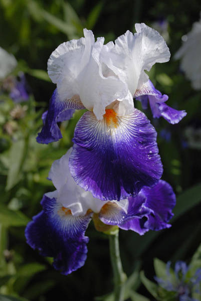 Photograph - Giverny Iris by Gene Norris