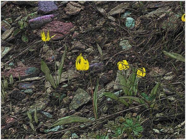 Photograph - Glacier Lilies by Susan Kinney