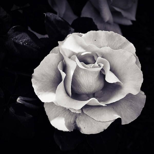 Photograph - Glacier Rose by Natasha Marco