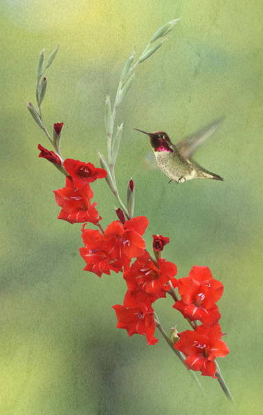 Hummingbird Wings Photograph - Glad Hummingbird by Angie Vogel